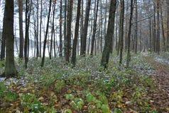 Primeras floraciones de la nieve Imagenes de archivo