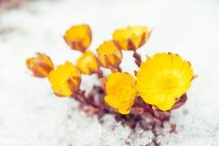 Primeras flores Adonis entre nieve Imagen de archivo libre de regalías