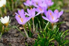 Primeras flores blandas del azafrán de la primavera Imagen de archivo