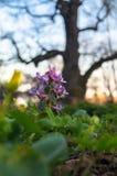 Primeras flores de la primavera de la hueco-raíz del Corydalis en el fondo de la puesta del sol con el roble enorme Moscú, estado Imagenes de archivo