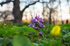 Primeras flores de la primavera de la hueco-raíz del Corydalis en el fondo de la puesta del sol con el roble enorme Moscú, estado Imágenes de archivo libres de regalías