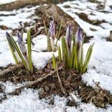 Primeras flores de la primavera debajo de la nieve Imágenes de archivo libres de regalías