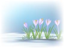 Primeras flores de la primavera en remiendo deshelado Azul - azafranes violetas Fotos de archivo libres de regalías