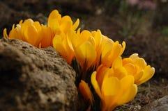 Primeras flores del azafrán de la primavera Foto de archivo