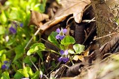 Primeras flores del resorte Imagen de archivo