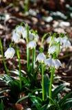 Primeras flores del resorte Flores de Snowdrops en un fondo de a Imagen de archivo