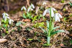 Primeras flores del snowdrop de la primavera en bosque Imagen de archivo libre de regalías