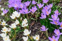 Primeras flores en el jardín Foto de archivo libre de regalías