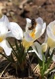 Primeras flores en un jardín Foto de archivo libre de regalías