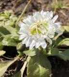 Primeras flores en un jardín Imagen de archivo libre de regalías