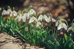 Primeras flores, fondo de la primavera Foto de archivo