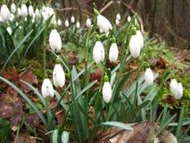 Primeras flores snowdrops Imagen de archivo libre de regalías