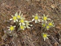 Primeras flores Sueño - hierba (Pulsatilla) Imagen de archivo libre de regalías