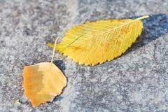 Primeras heladas y hojas caidas del abedul Fotos de archivo libres de regalías