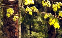 Primeras hojas Imagen de archivo