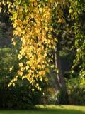 primeras hojas de otoño en un abedul en el parque Foto de archivo