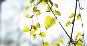 Primeras hojas del abedul en día de primavera Foto de archivo libre de regalías