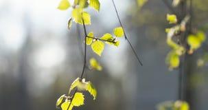 Primeras hojas del abedul en día de primavera Fotografía de archivo libre de regalías