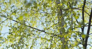 Primeras hojas del abedul en día de primavera Imagen de archivo