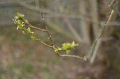 Primeras hojas del verde de la primavera que emergen en rama Imágenes de archivo libres de regalías