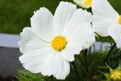 Primero floraci?n de flores en el verano fotografía de archivo libre de regalías