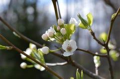 Primero para florecer flor del peral foto de archivo libre de regalías