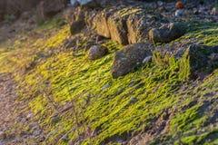 Primero plano agradable del musgo verde en rocas, iluminado por los rayos de sol imagen de archivo