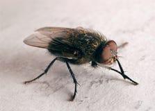 Primero plano de la mosca Imagen de archivo libre de regalías