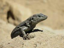 Primero plano de un lagarto Imagenes de archivo