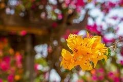 Primero plano floreciente de la flor amarillo-naranja hermosa brillante animada fresca de la buganvilla con el fondo borroso del  Imágenes de archivo libres de regalías
