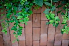 Primero plano verde de la enredadera con el modelo de la pared de ladrillo de la falta de definición imagen de archivo libre de regalías