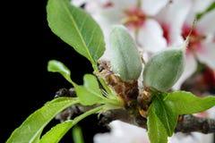 Primero tiempo de las almendras que crecen en una rama de árbol de almendra aislada Fotos de archivo libres de regalías