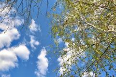 Primeros brotes de la primavera y hojas verdes jovenes del abedul Imagenes de archivo