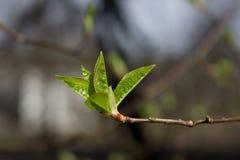 Primeros brotes en árboles Fotografía de archivo