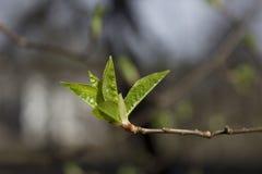 Primeros brotes en los árboles Fotos de archivo libres de regalías