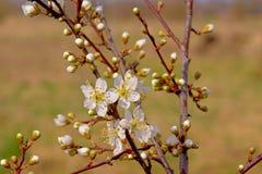 Primeros flores y brotes blancos, foco selectivo de la primavera Fotografía de archivo