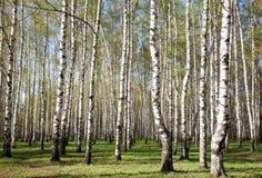 Primeros verdes en bosque soleado del abedul Fotografía de archivo