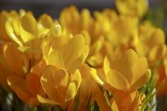 Primerose цветков желтое в весеннем времени Стоковое фото RF
