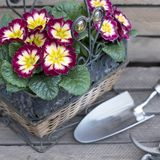 Primerose com pá de pedreiro, gardenshears no fundo de madeira imagem de stock royalty free