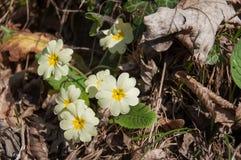 Primerose salvaje en primavera Fotografía de archivo libre de regalías