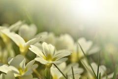 Primeroses στον ήλιο Στοκ φωτογραφία με δικαίωμα ελεύθερης χρήσης
