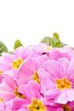primeroses cor-de-rosa na mola Fotos de Stock