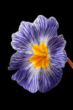 Primevère bleue Image libre de droits