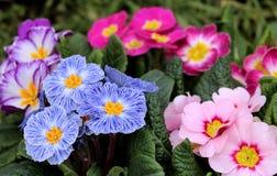 Primevère colorée de fleur de vue de plan rapproché, primevère vulgaris La primevère est une fleur de ressort Vue de ci-dessus du Images libres de droits