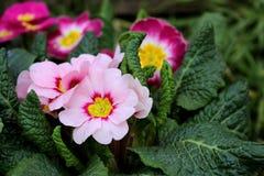Primevère colorée de fleur de vue de plan rapproché, primevère vulgaris La primevère est une fleur de ressort Vue de ci-dessus du Photos libres de droits