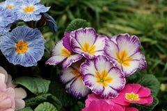 Primevère colorée de fleur de vue de plan rapproché, primevère vulgaris La primevère est une fleur de ressort Vue de ci-dessus du Image libre de droits
