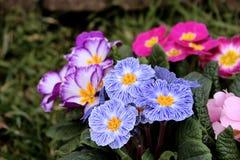 Primevère colorée de fleur de vue de plan rapproché, primevère vulgaris La primevère est une fleur de ressort Vue de ci-dessus du Photos stock