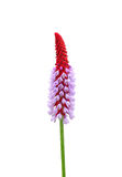 Primevère d'orchidée (vialii de primevère) photo libre de droits