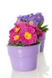 Primevère dans le bac de fleur Image stock