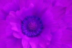 Primevère de pourpre de fleur Macro Fond d'une fleur pourpre Vue de ci-avant Plan rapproché floral de fond Pour la conception Image libre de droits